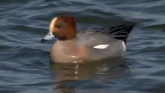 WIGEON #3 Stock Footage
