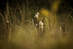 cattails - stock photo