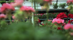 Hispanic woman in greenhouse checking flowers Stock Footage