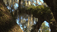 Stock Video Footage of Live Oak trunks, limbs form crossing pattern, ferns, afternoon golden sun light