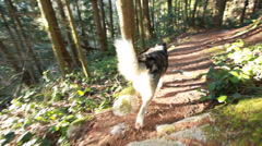 Malamute running down trail in woods Stock Footage