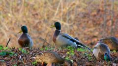 Ducks looking for food under leaves Stock Footage