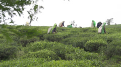 SLOW MOTION: Harvesting green tea bush in Sri Lanka Stock Footage