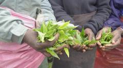Harvesters holding green tea leaves Stock Footage