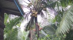 Thai man Climb A Coconut Tree Stock Footage