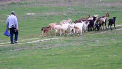 Goats with shepherd Stock Footage