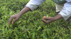 SLOW MOTION: Harvesting green tea bush in Sri Lanka Stock Footage