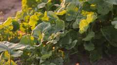 Turnip greens, turnip, radish is growing on the farm Stock Footage
