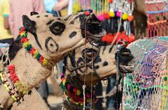 two decorated tribal nomad camels at cattle festival in hindu town pushkar,india - stock photo