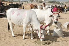 Two holy cows with panted pink horns  at camel mela holiday in pushkar,india Stock Photos