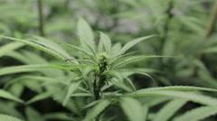 1025 Medical marijuana pan left 1 Stock Footage