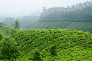 Stock Photo of green tea gardens in munnar highland,kerala,western ghats,india