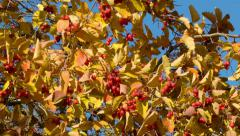Hawthorn on a sunny day Stock Footage