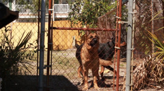 German Shepherd and Rottweiler dogs behind a fence Stock Footage