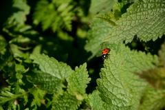 Ladybug on the edge of a nettle leaf Stock Photos