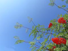 Stock Photo of autumn rowan berries ashberry. sorbus aucuparia