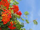 Stock Photo of autumn rowan berries ashberry. sorbus aucuparia