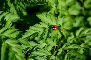 Stock Photo of closeup of ladybird on cow parsley