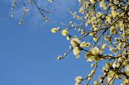 Stock Photo of springtime willow catkins against the sky