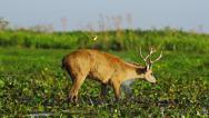 Stock Video Footage of Marsh deer shaking