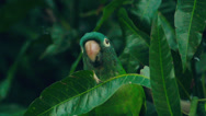 Stock Video Footage of blue-crowned parakeet