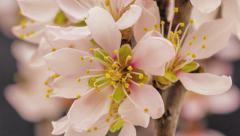 Apricot flower blooming time lapse Stock Footage