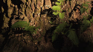 Stock Video Footage of CU gnarled Oak Tree base with green ferns growing,  golden afternoon sunlight