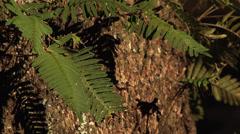 Trees, oaks, ferns growing on large live oak tree w golden afternoon sun Stock Footage
