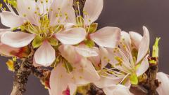 Apricot flower blossoming time lapse Stock Footage