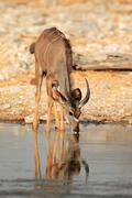 Kudu antelope drinking - stock photo