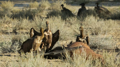Scavenging white-backed vultures Stock Footage