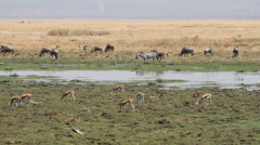 Wildlife in Amboseli marshland - stock footage