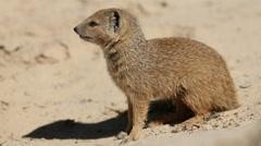 Yellow mongoose - stock footage