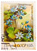 Stamp printed in ussr (cccp, soviet union) shows anemone hepatica (liverwort, Stock Photos