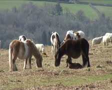 Dartmoor Ponies on Dartmoor, Devon, UK Stock Footage