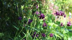 Delicate Purple flowers sway in wind, English Garden Stock Footage