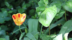 Red and Yellow tulip in green English Garden Stock Footage