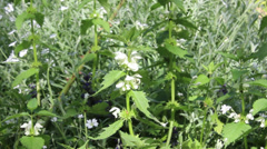 Stinging Nettles with Flowers in English Garden Stock Footage