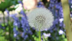 Blur to dandelion blowing in the wind in English Garden Stock Footage