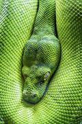 Green tree python eye Stock Photos