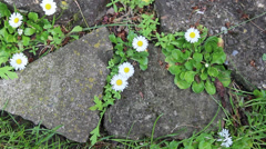 Daisys in English Garden Stock Footage