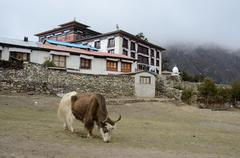 Yak near tengboche buddhist monastery covered with the cloud,everest region Stock Photos