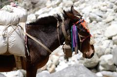 Portrait of donkey with heavy load at everest base camp trek in sagarmatha  r Stock Photos