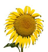 sunflower on a white background. the bright colors of summer - stock photo