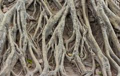 amazing chaos tree roots - stock photo