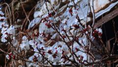 First apricot flowers in spring Stock Footage