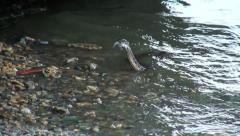 Water snake crawls  out of the water to swallow the fish caught Stock Footage