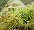 Stock Photo of moss closeup