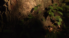 Trees, Oaks, Time Lapse, ferns on large Live Oak Tree, sunlight fades to sunset Stock Footage