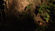 Stock Video Footage of Time Lapse, ferns growing on large Live Oak Tree base,sunlight fades to sunset